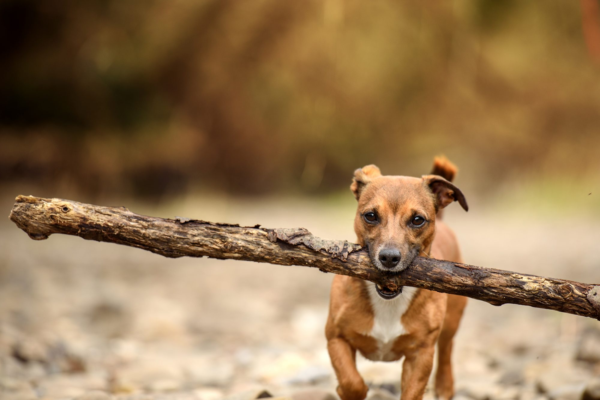 small strong dog carrying big stick