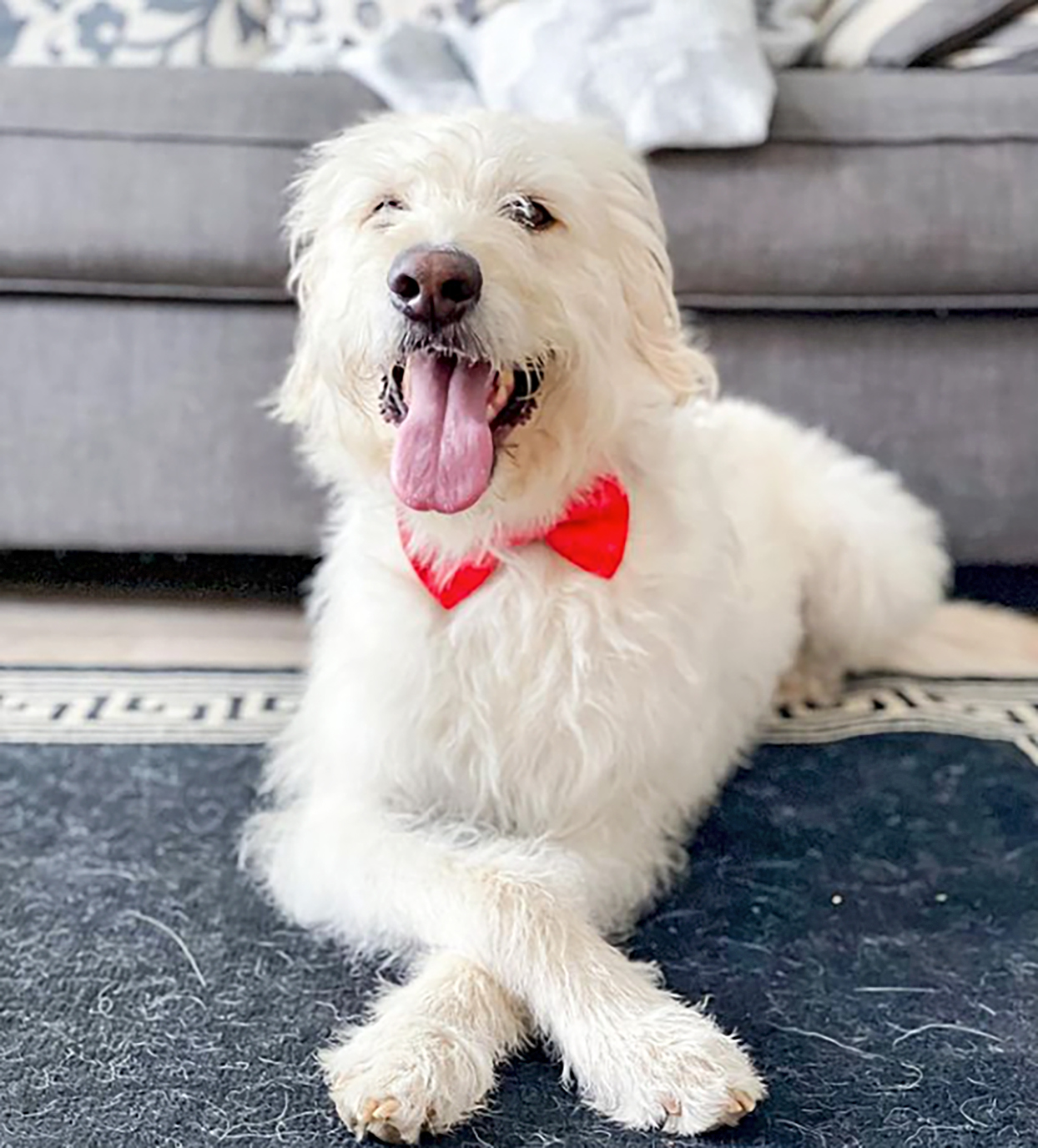 white labradoodle with wavy fur and lab bod