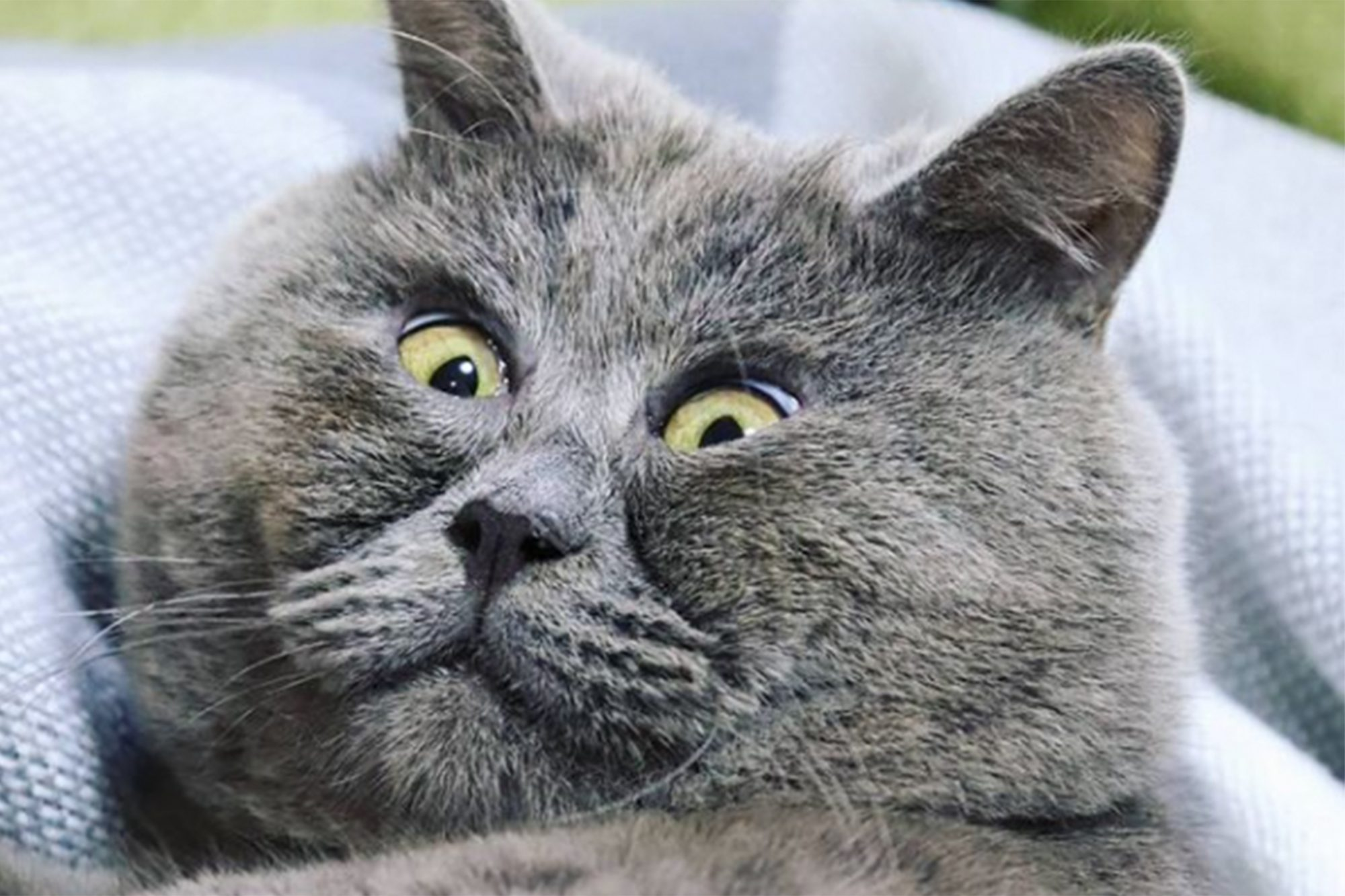 close up of grey cat with startled expression