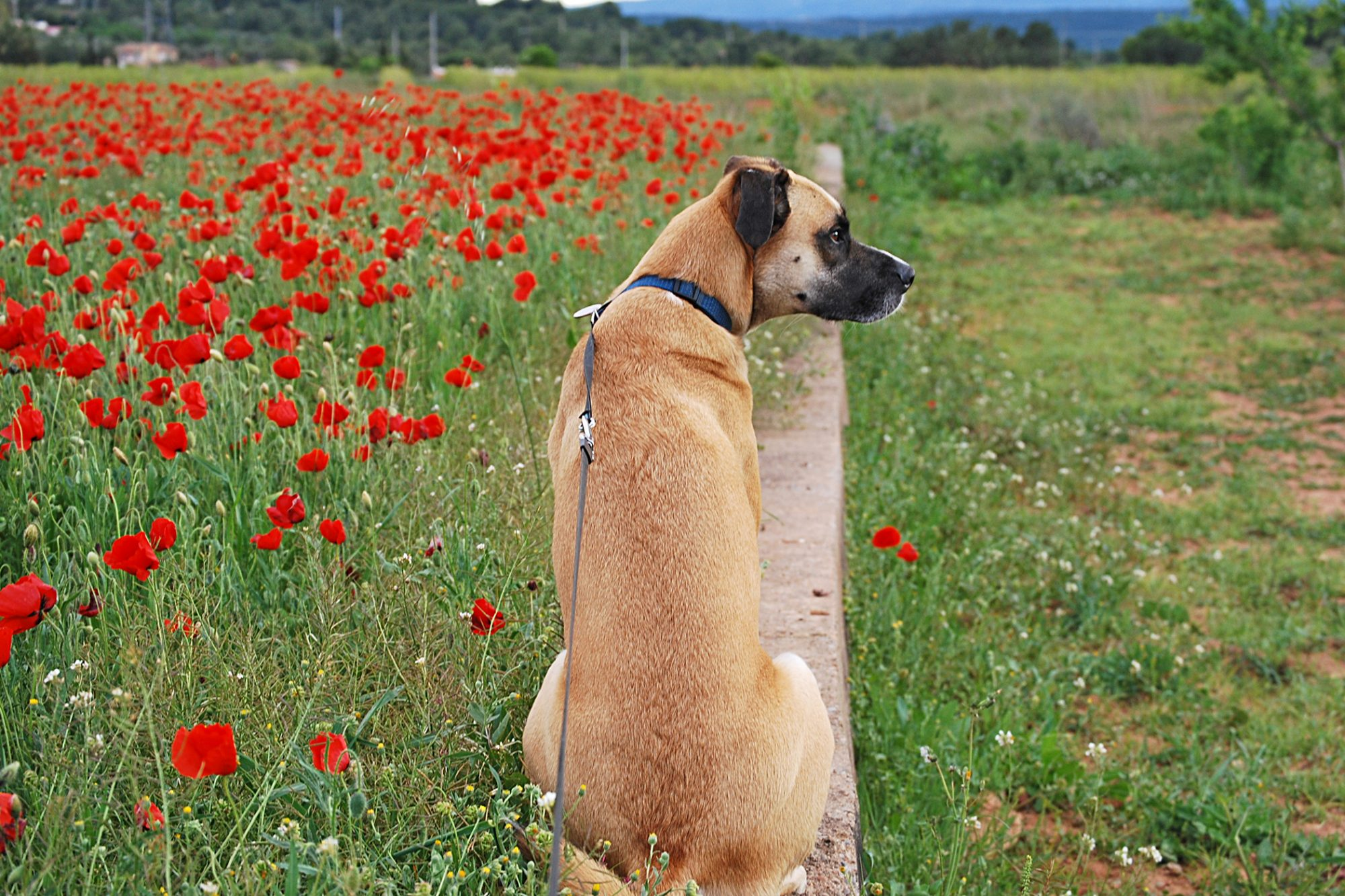 black mouth cur sitting facing away from the camera next to a field of poppies