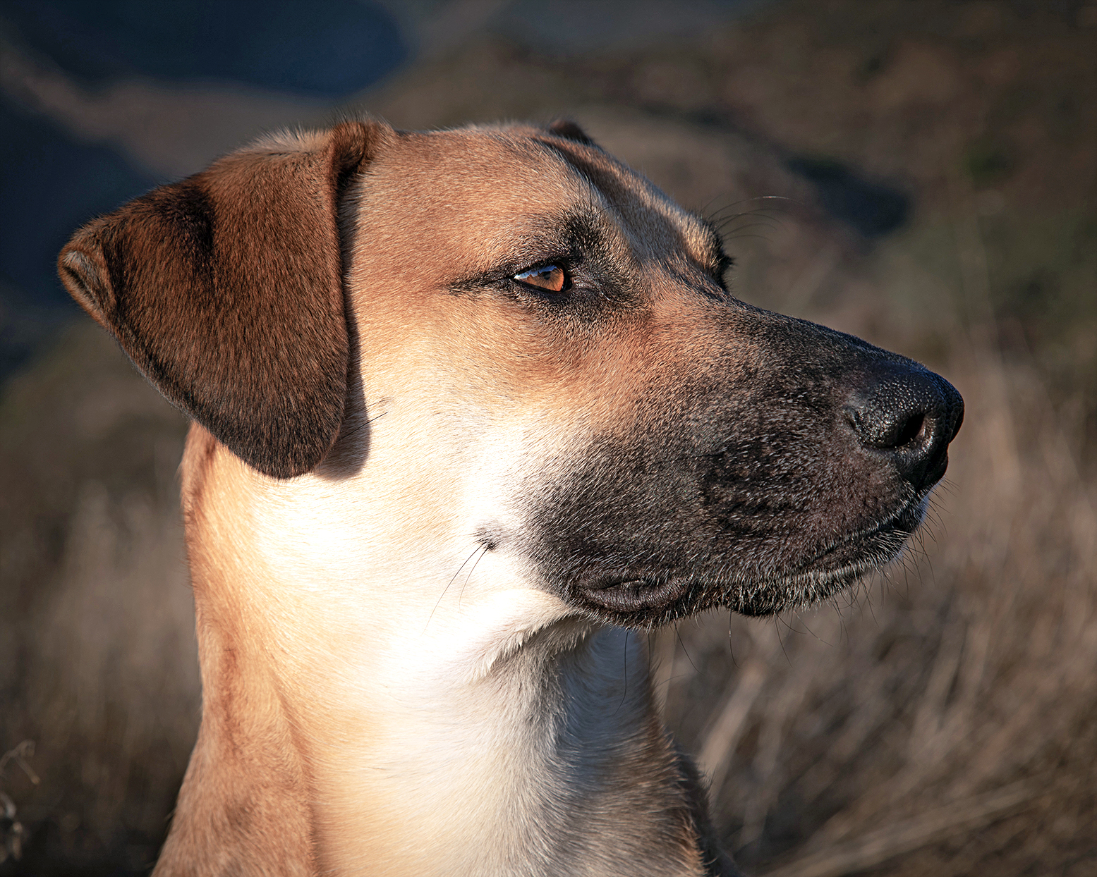 Closeup of black mouth cur dog on blurred background