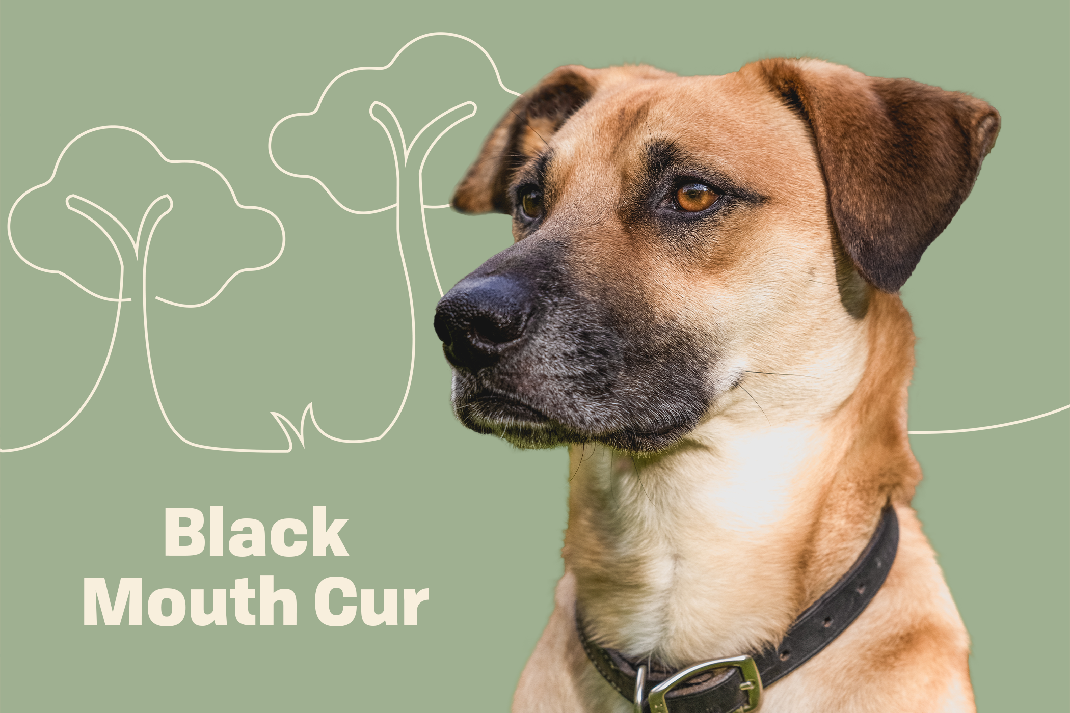 Black Mouth Cur dog breed profile treatment dog on a green background