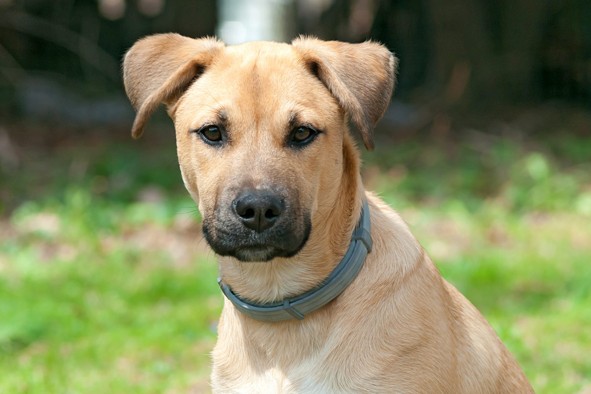 black mouth cur puppy looking at the camera