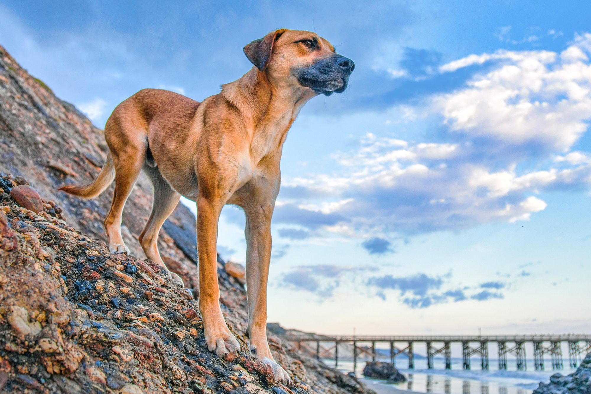 black mouth cur standing on rocks near ocean shore