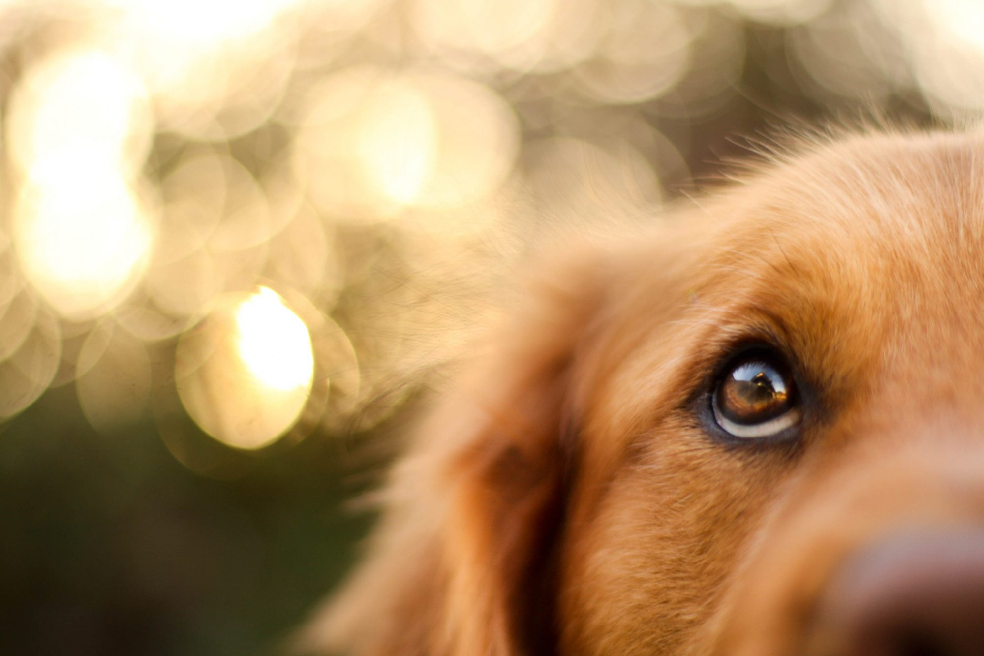 closeup of a golden retriever's eye looking for a ghost
