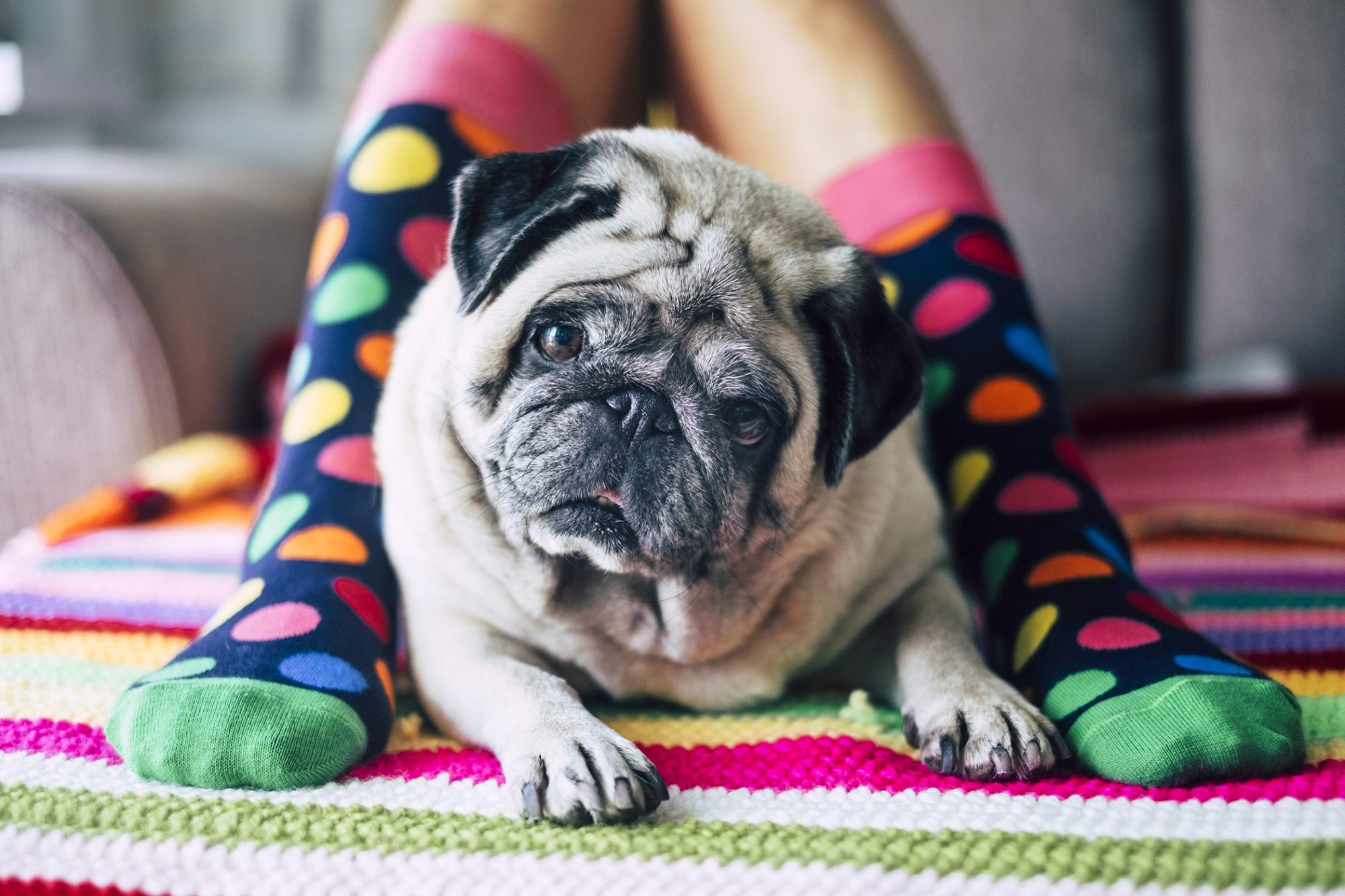 pug with eye discharge sitting in between legs of a child wearing polka dot socks
