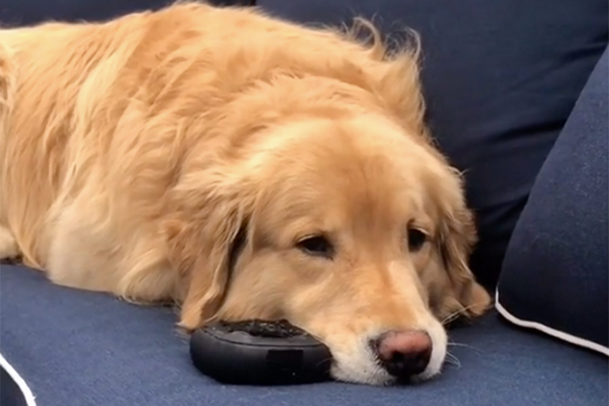golden laying on couch with his Bose speaker next to his muzzle