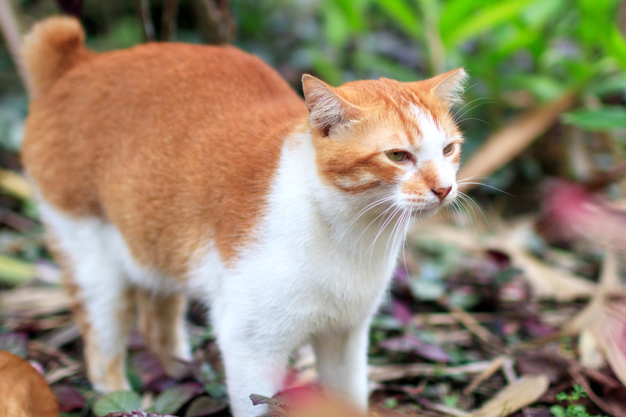 white and orange manx outdoors standing in leaves