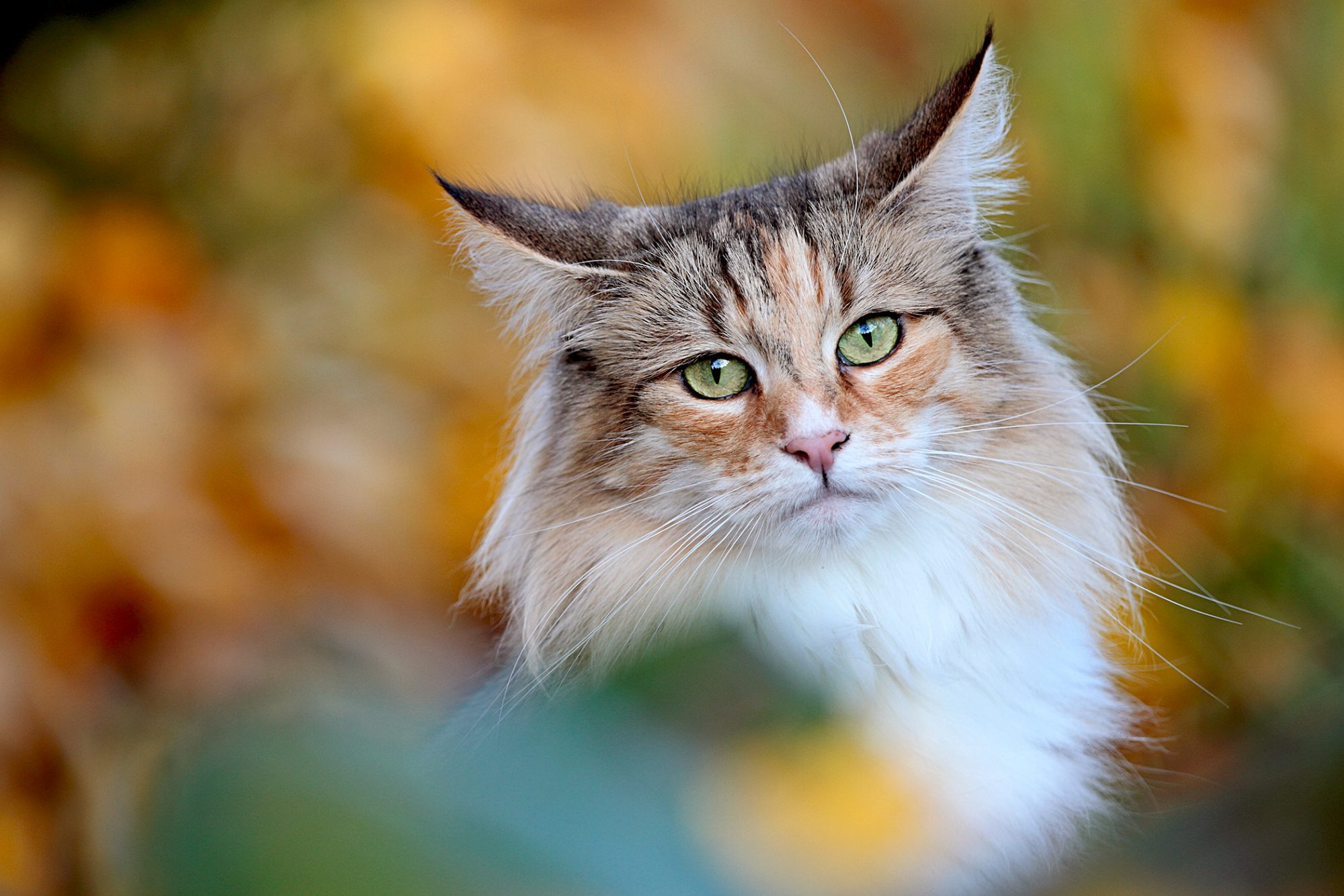 norwegian forest cat with autumn leaves blurred background