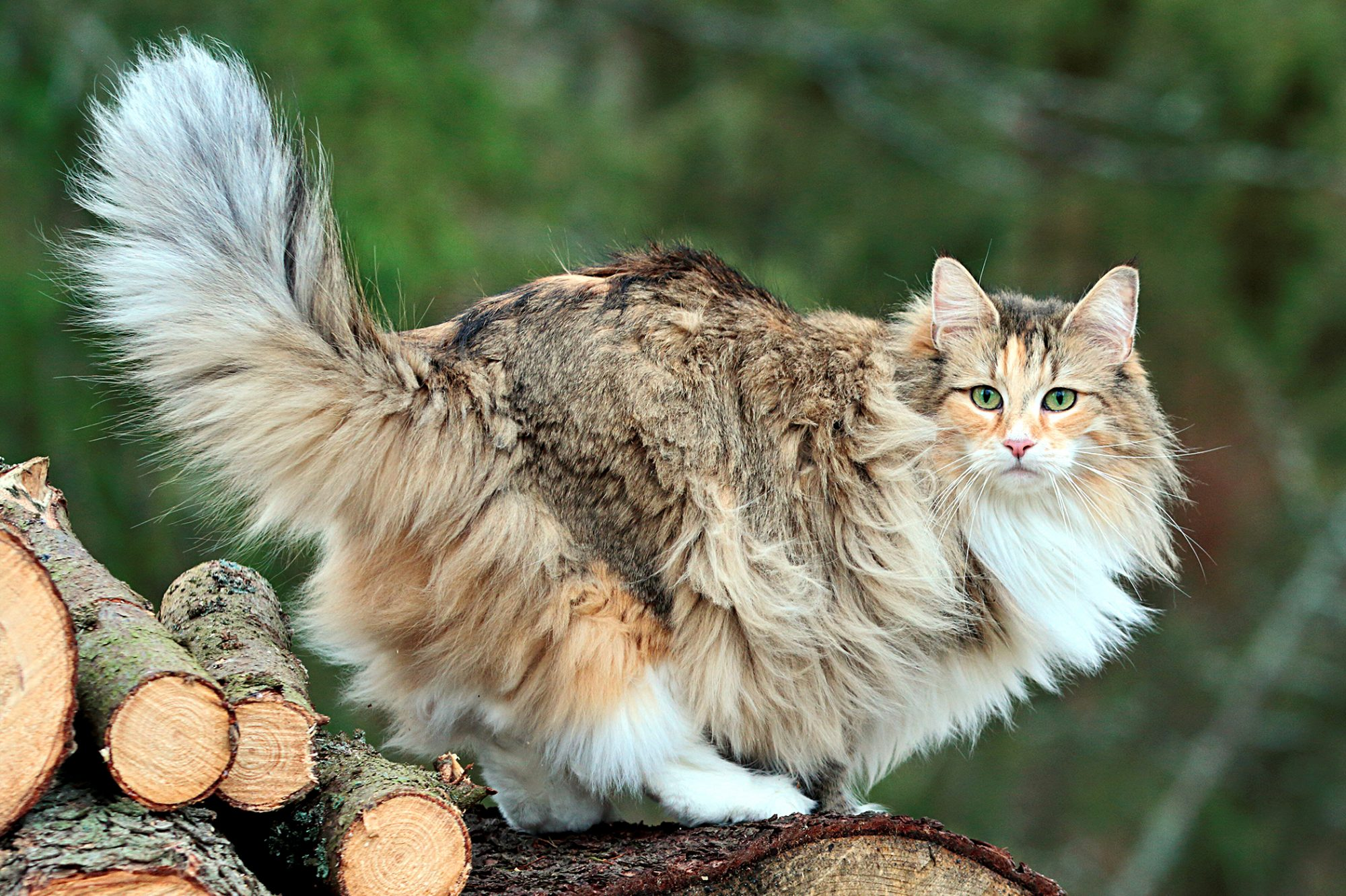fluffy norweigan forest cat standing on logs