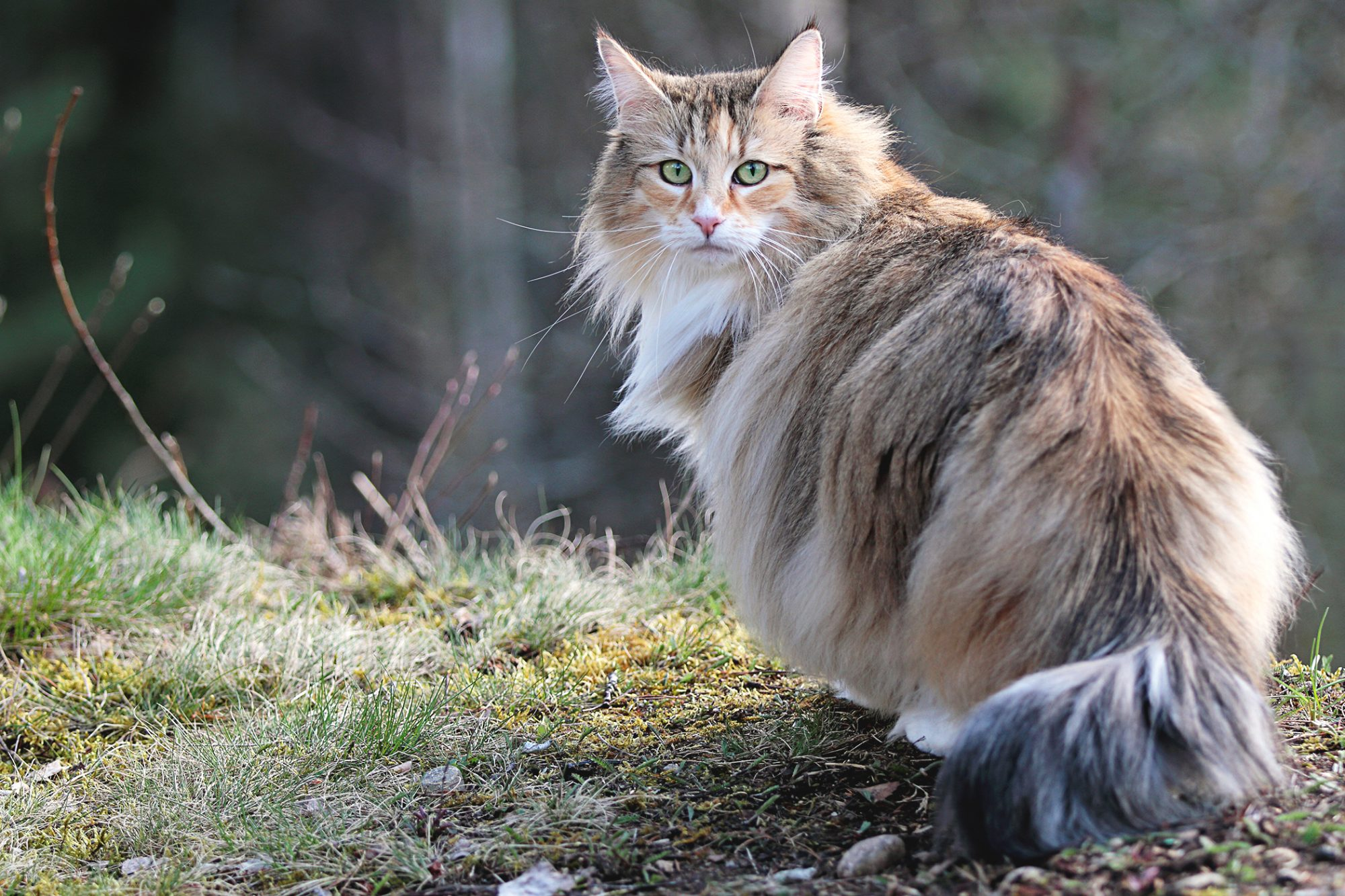 norwegian forest cat outside looking back at camera