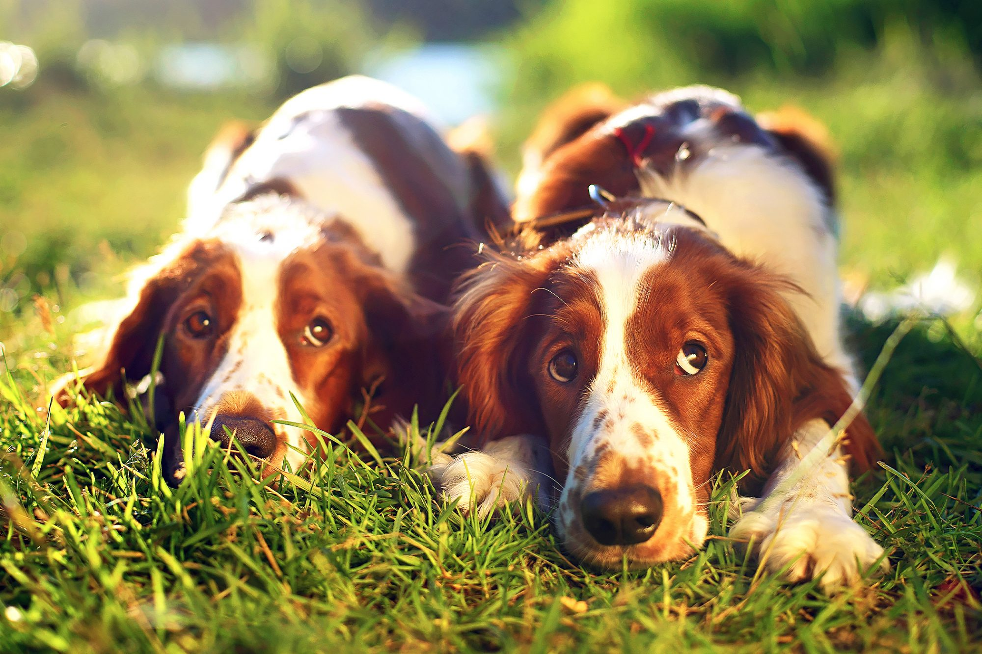 two welsh springer spaniel dogs lying in grass looking up