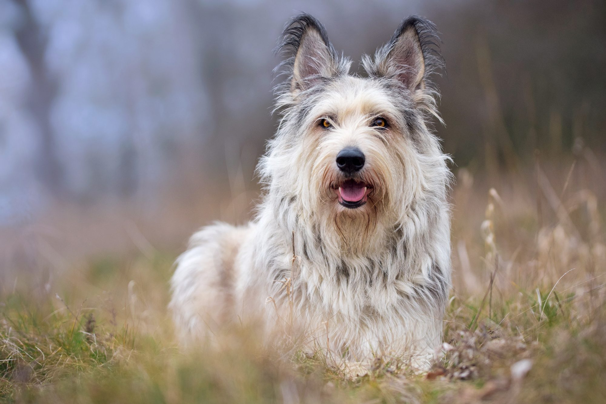 French dog breed Berger picard lying in a field