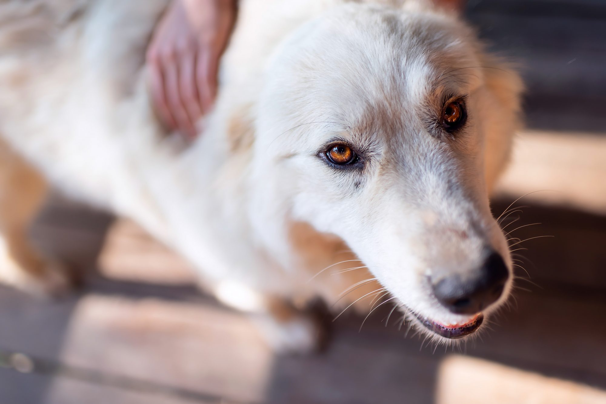 Closeup of young white great pyrenees dog looking up