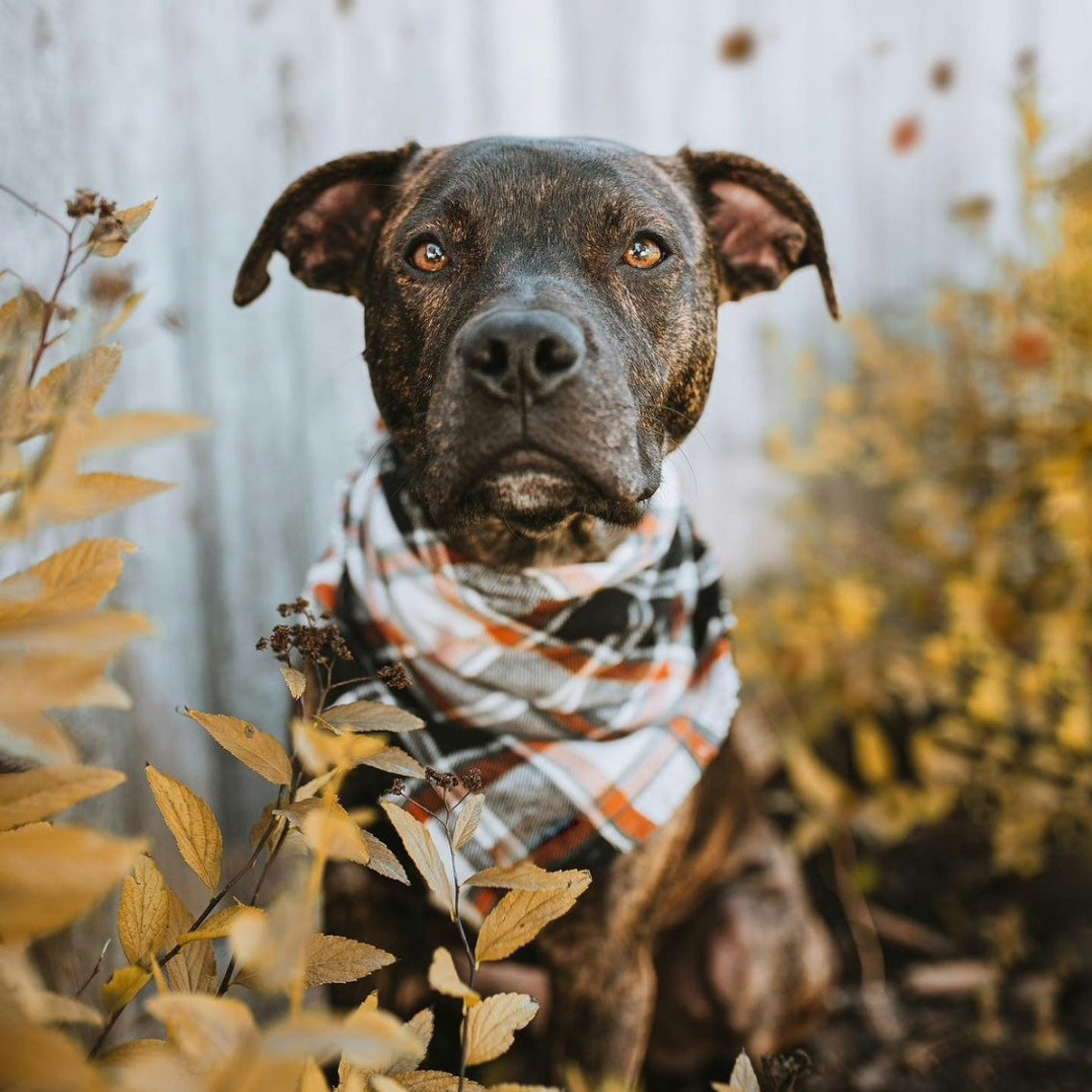 Dog wearing a OhBarks Personalized Pumpkin Spice Plaid Dog Bandana while standing in front of a fench