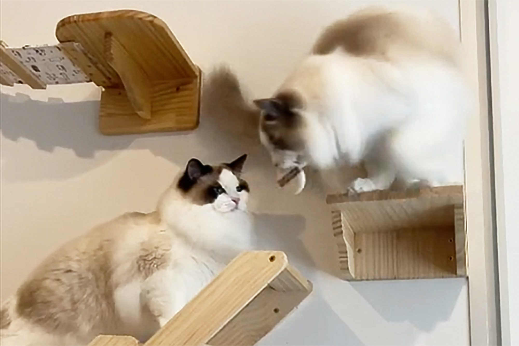 cat obstacle course on TikTok