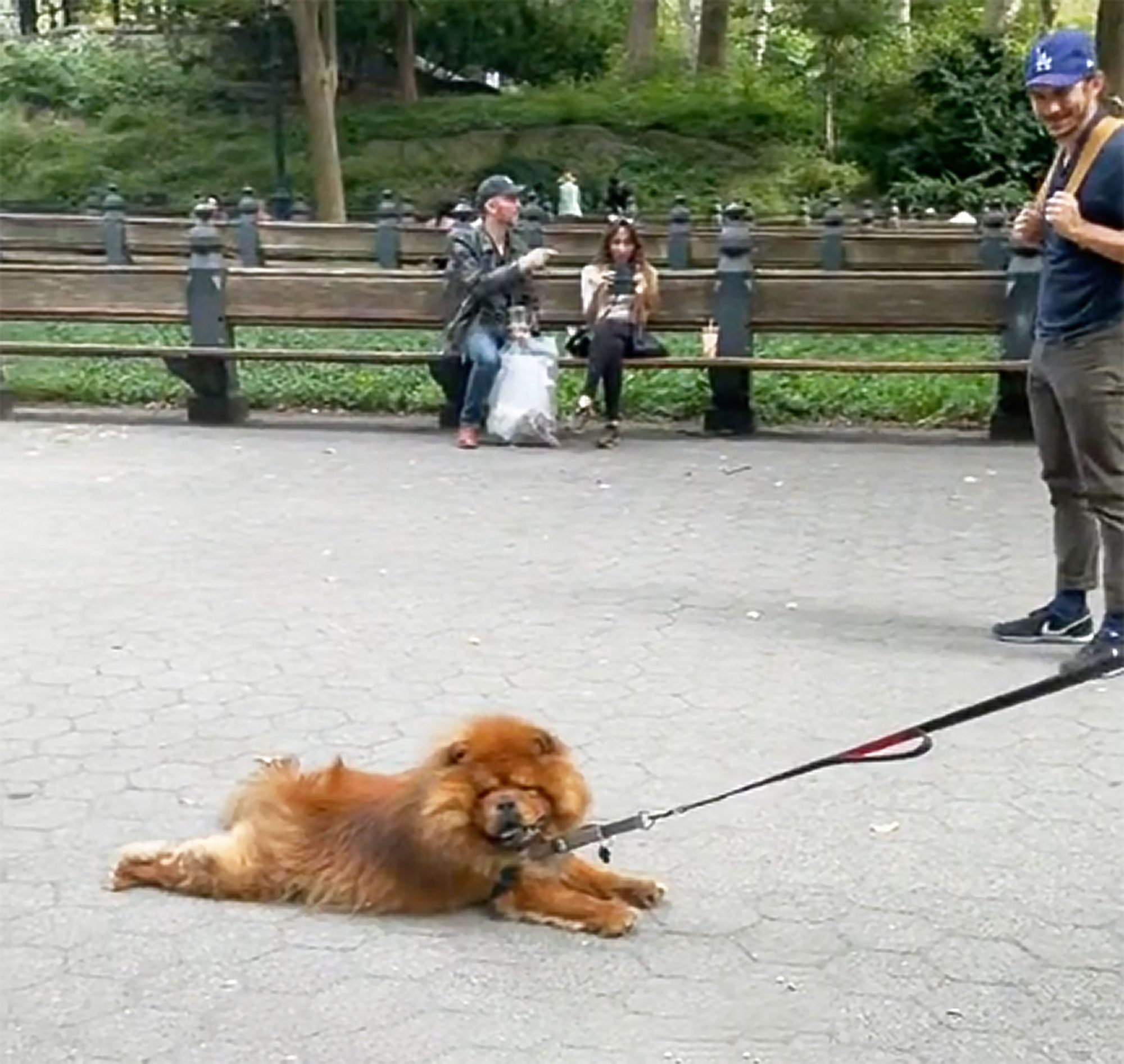 chow that refuses to walk is gently dragged in Central Park