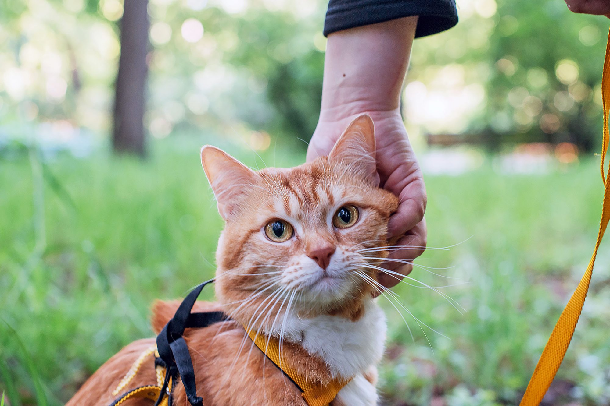 ginger cat outside on a hike wearing an orange harness for safety