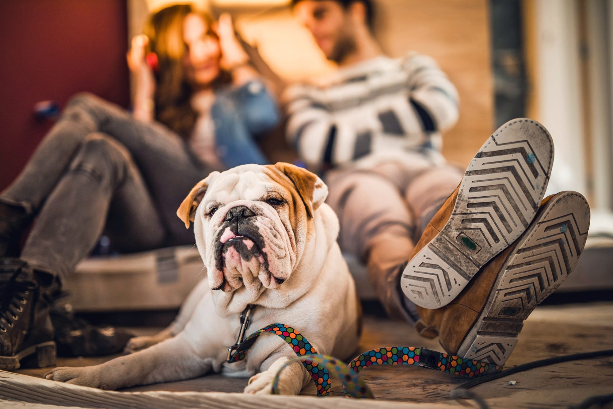 bulldog with liver failure sitting on the floor next to his owners