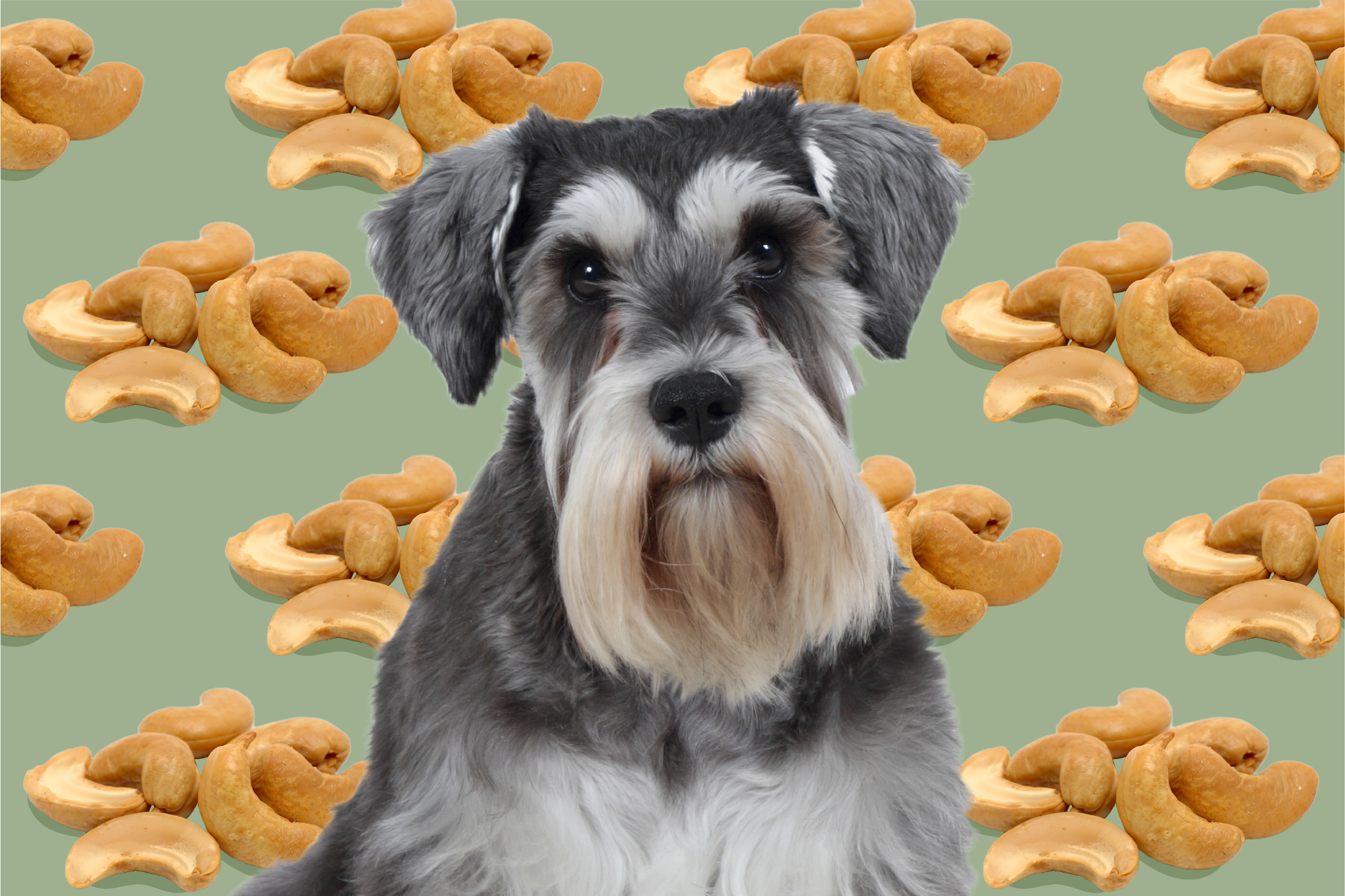 can dogs eat cashews dog in front of cashews on a green backgound