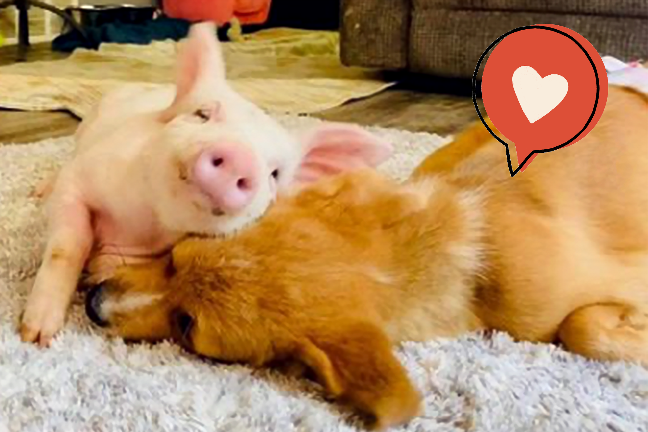 pig and special needs puppy snuggle