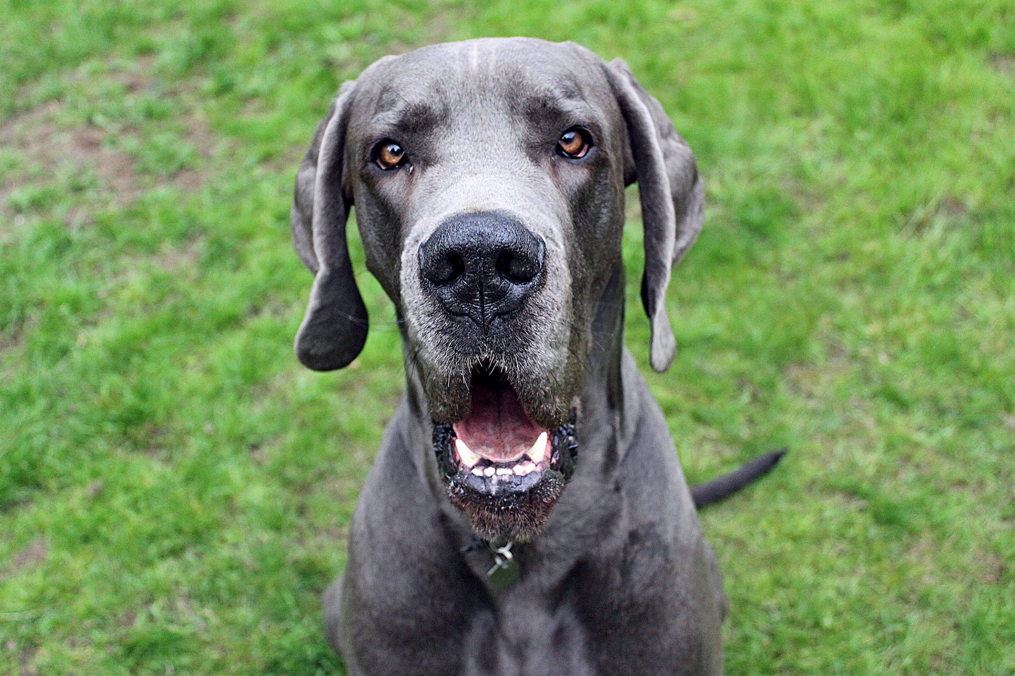 Large grey dog sitting in the grass looking at the camera