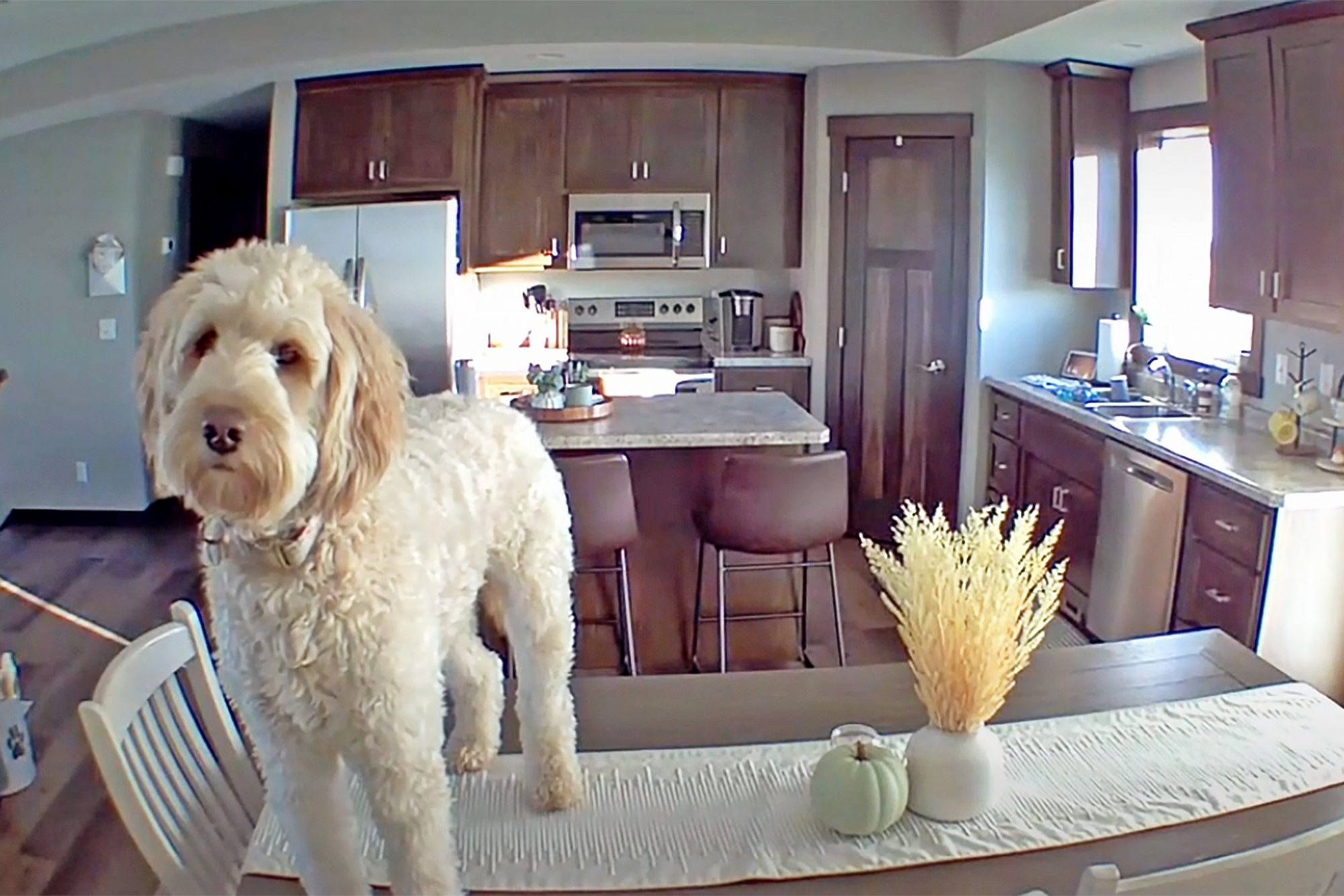 Millie stands on kitchen table and ignores pleas to get down
