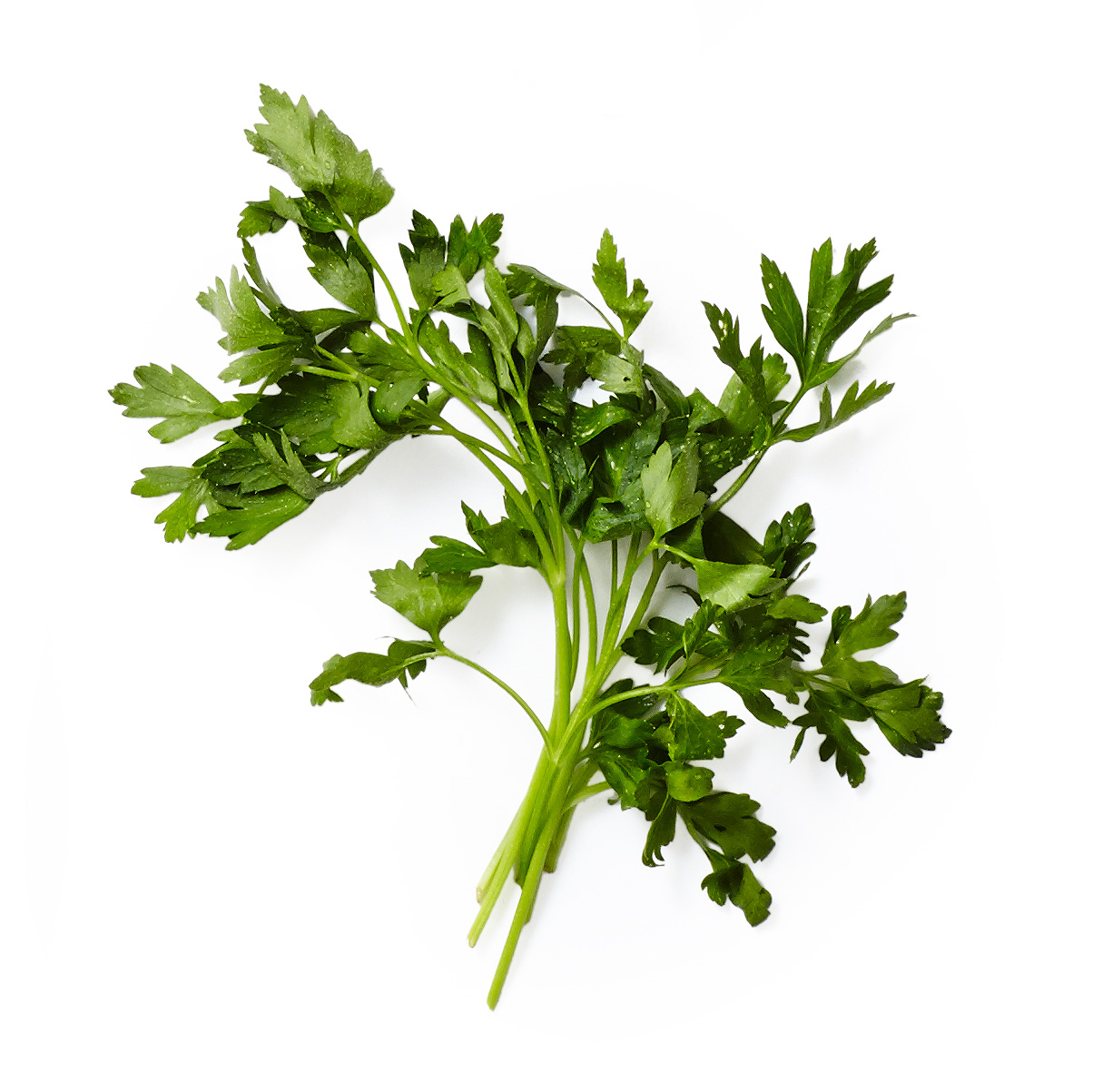 flat leaf parsley herb plant