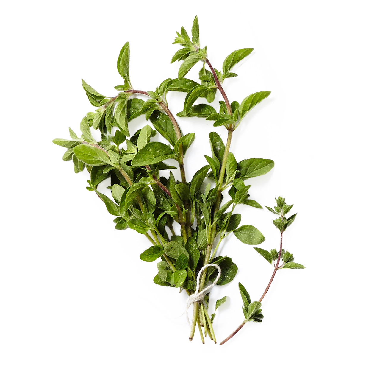 marjoram herb plant