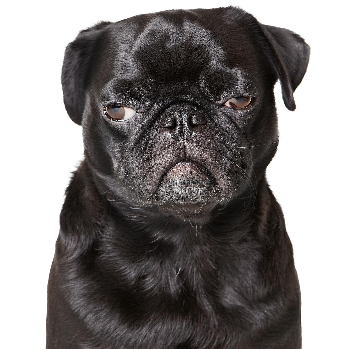 pet-pug-rachael-ray-0317-102908327
