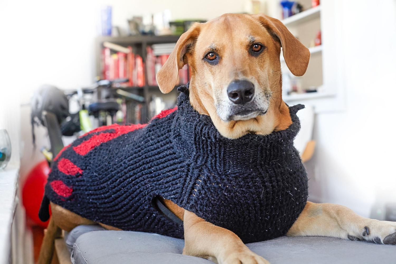 dog rowdy wearing sweater