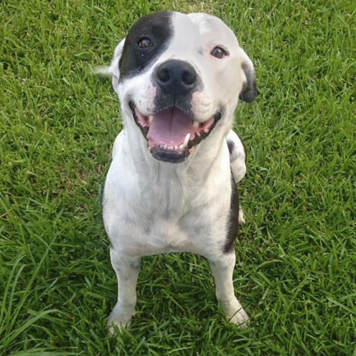 rescue pit bull sitting