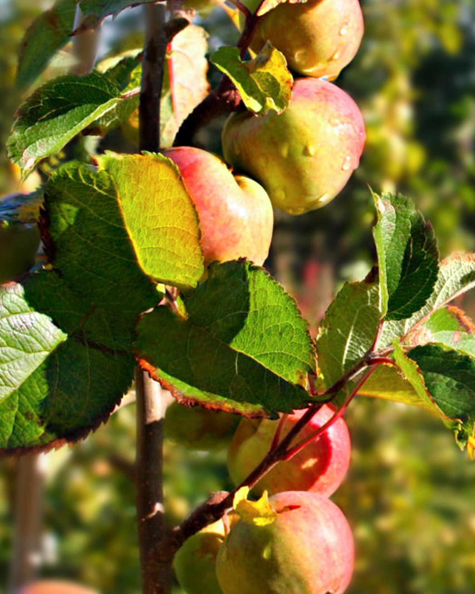 apples on orchard tree