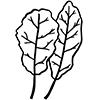 chard leaf illustration