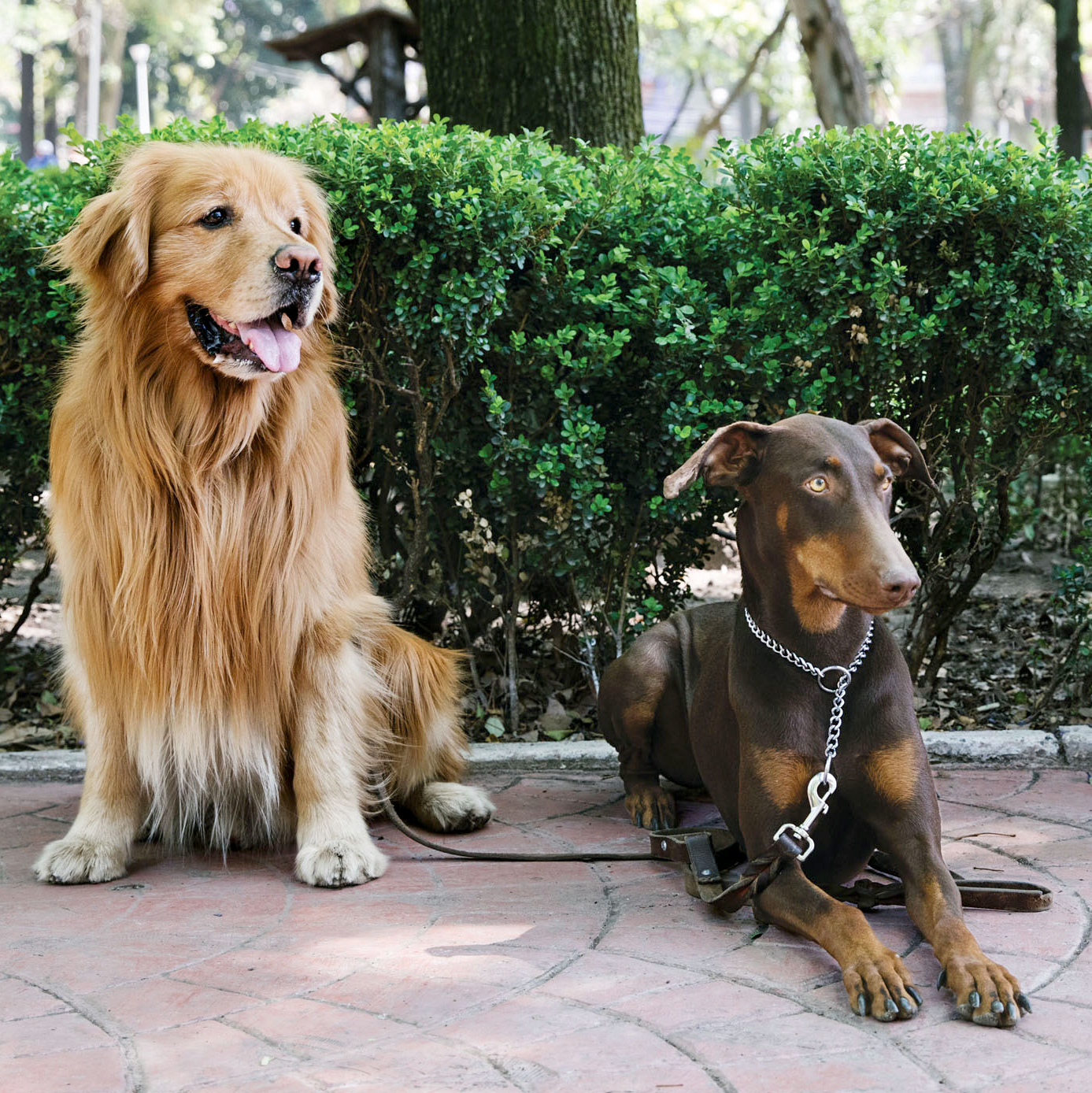 large dogs with leashes on pathway