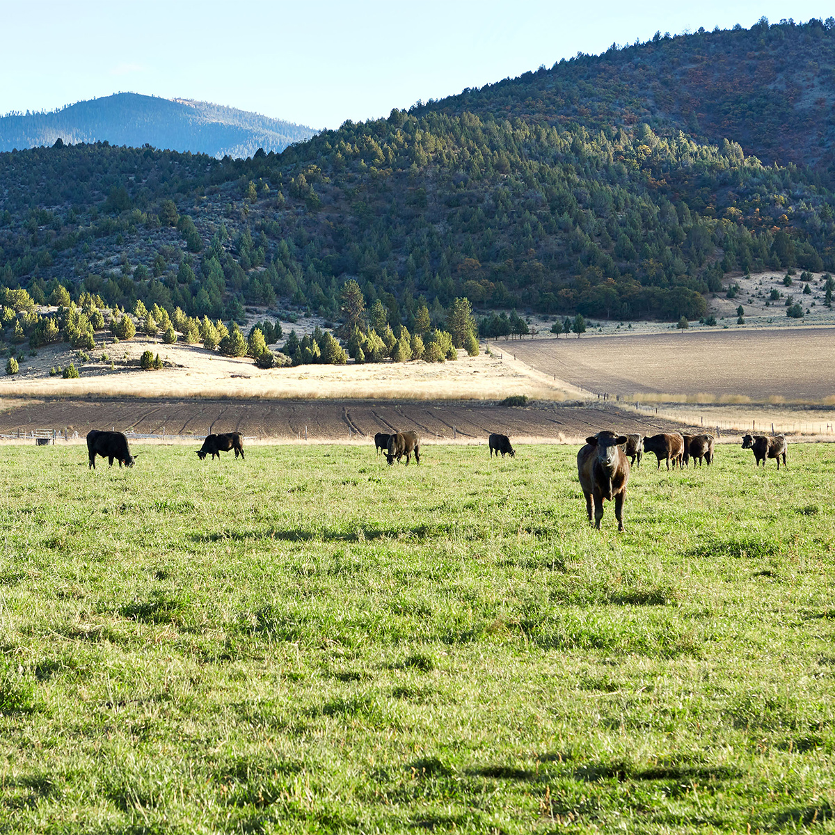 angus hereford wagyu cattle on ranch