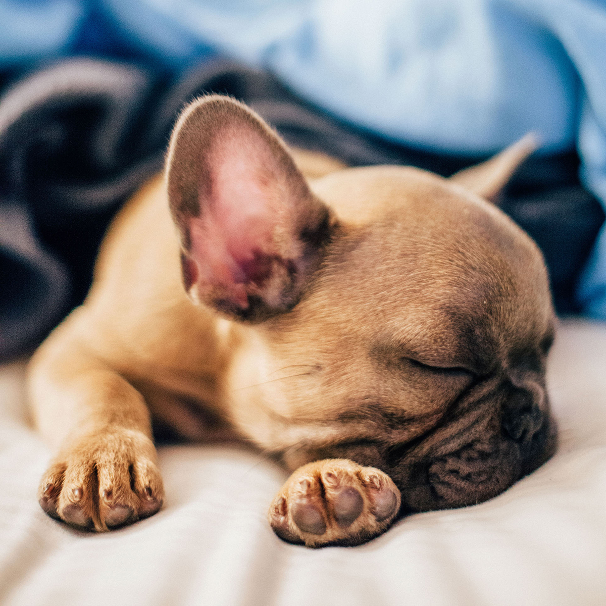 sleeping puppy with blankets