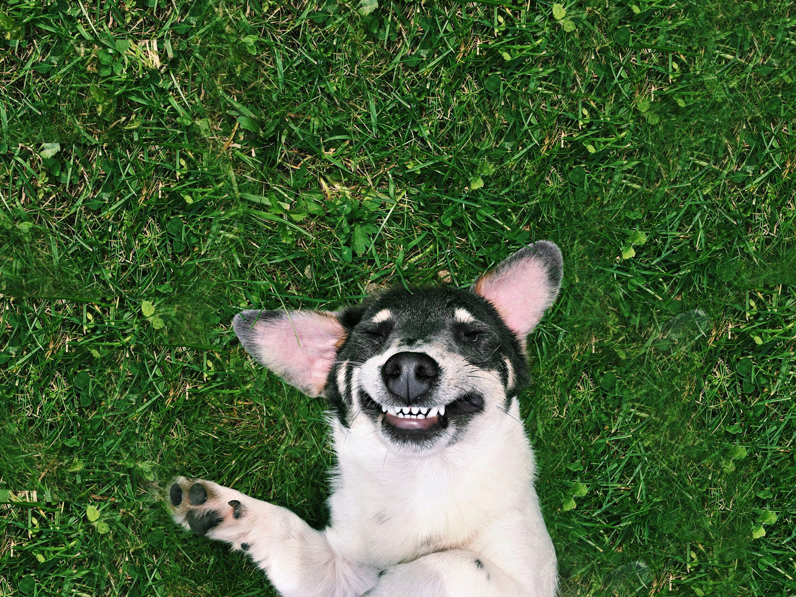 dog laying in grass smiling