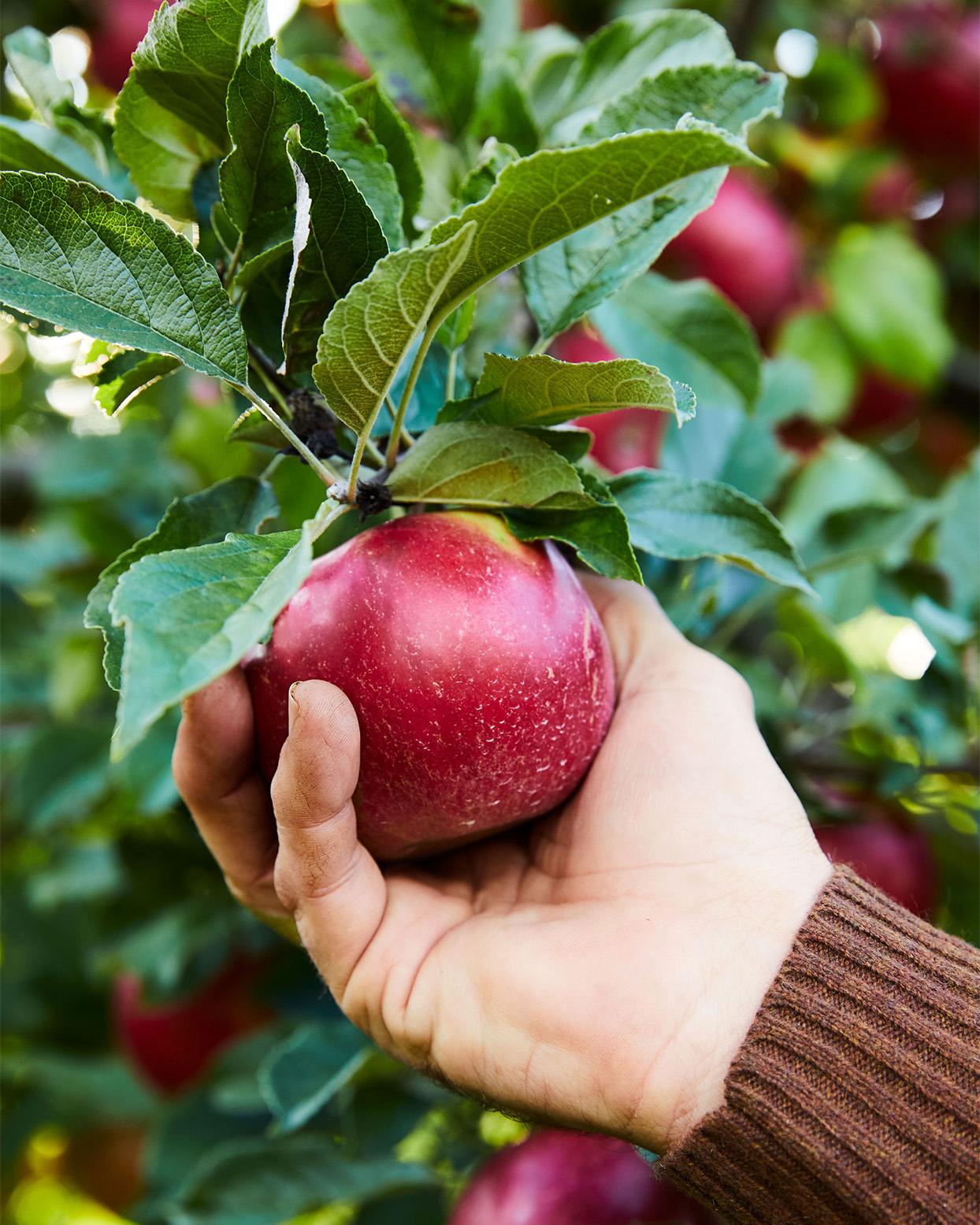 ripe apple for picking
