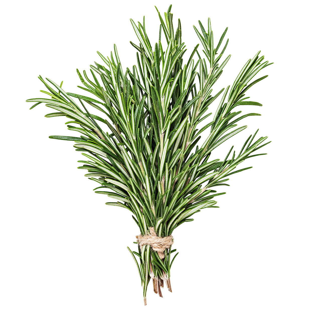 fresh rosemary bunch wrapped together on white background