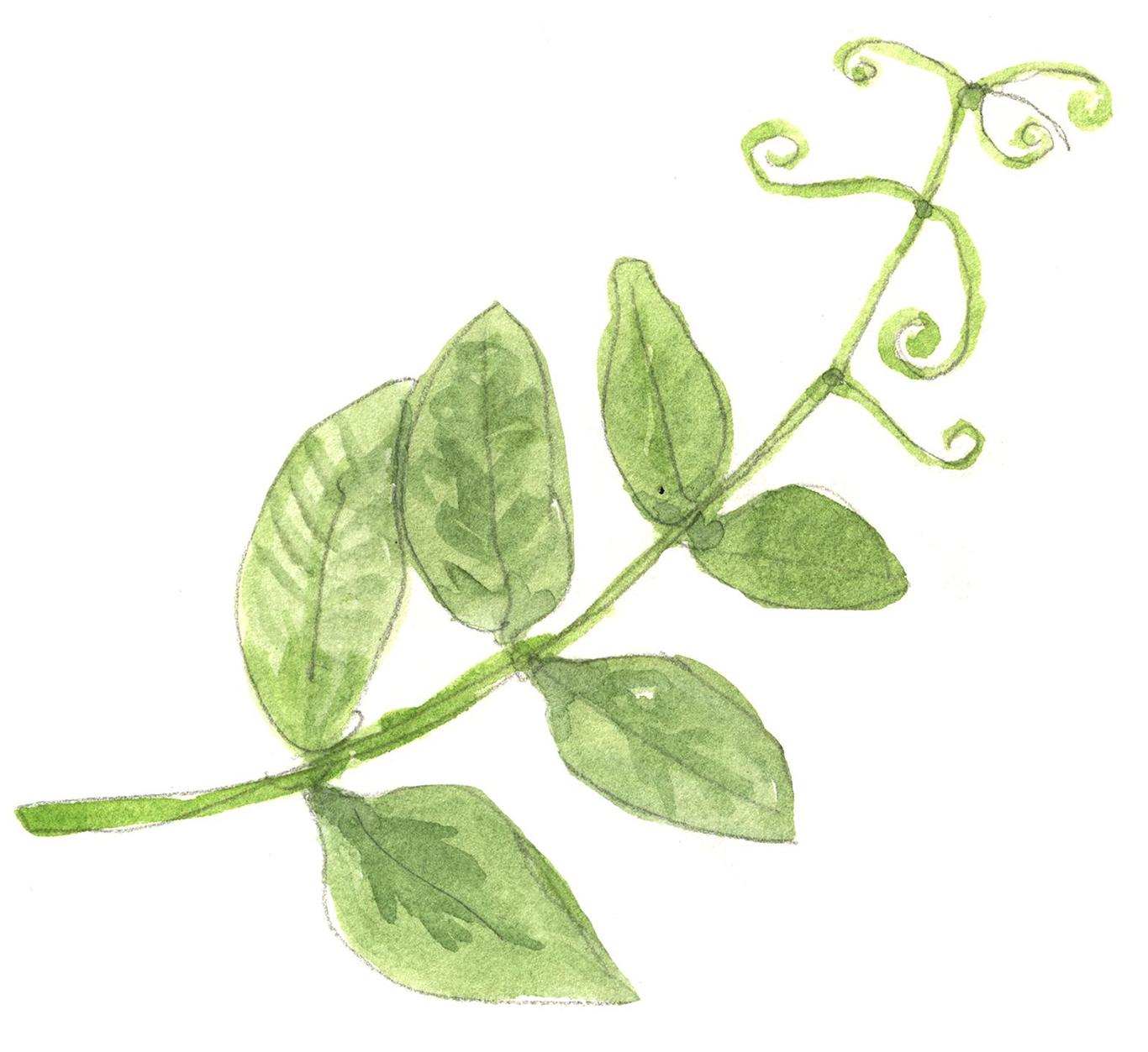 pea tendrils illustration