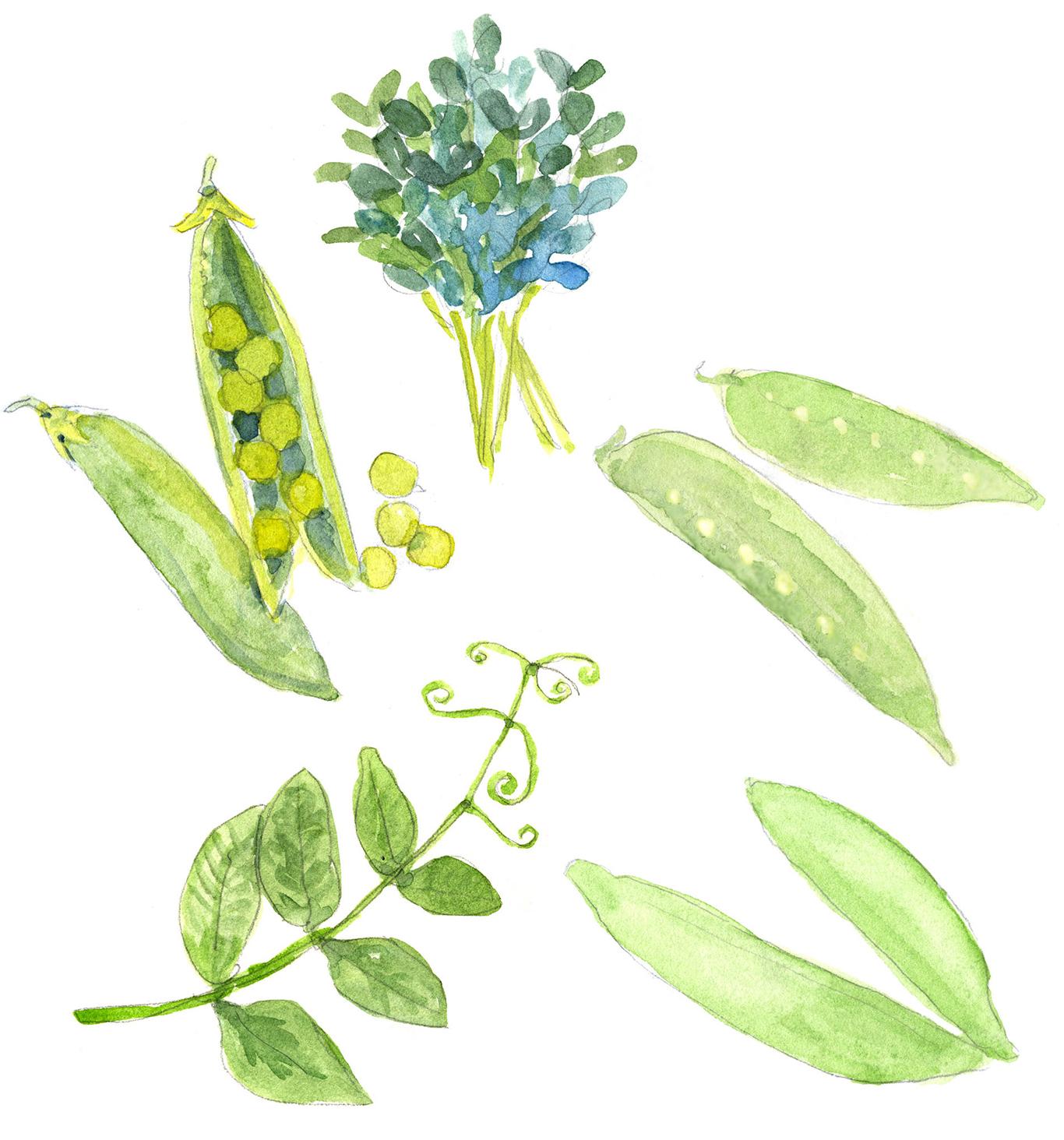 types of peas illustration