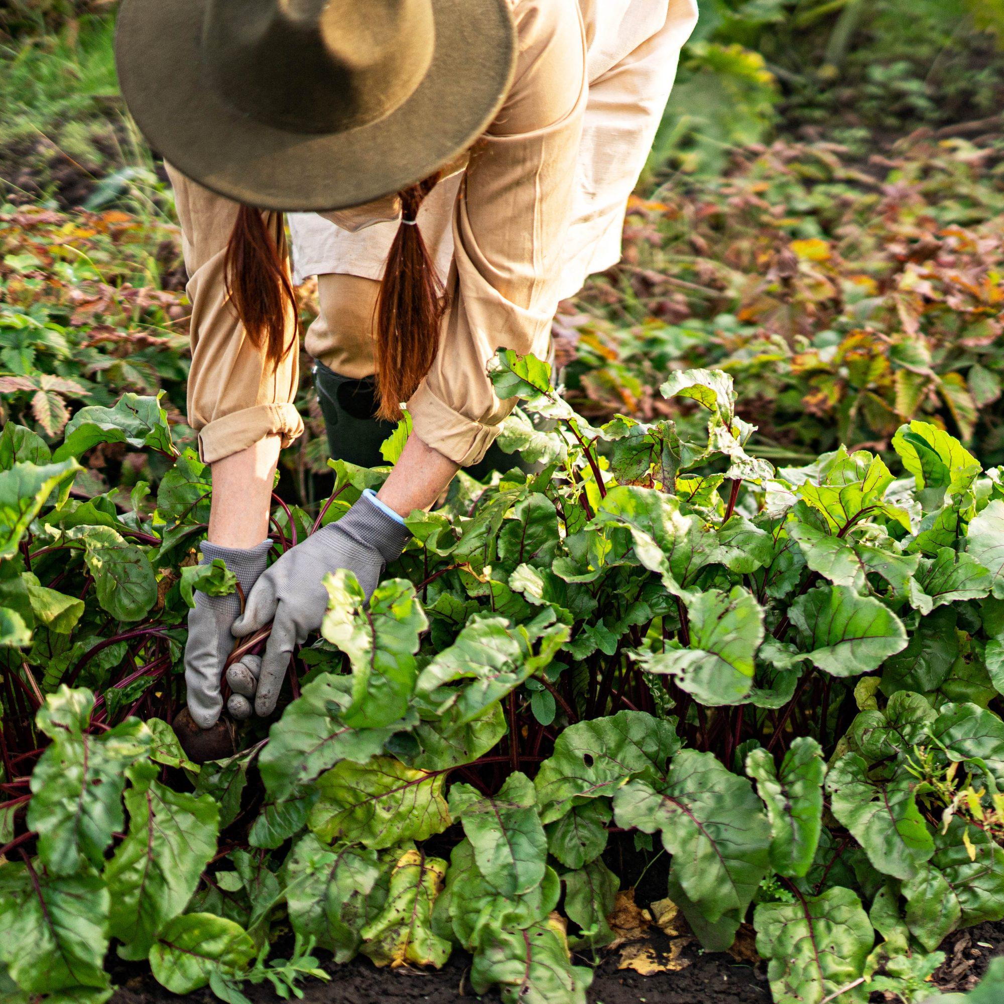 woman tending vegetable garden