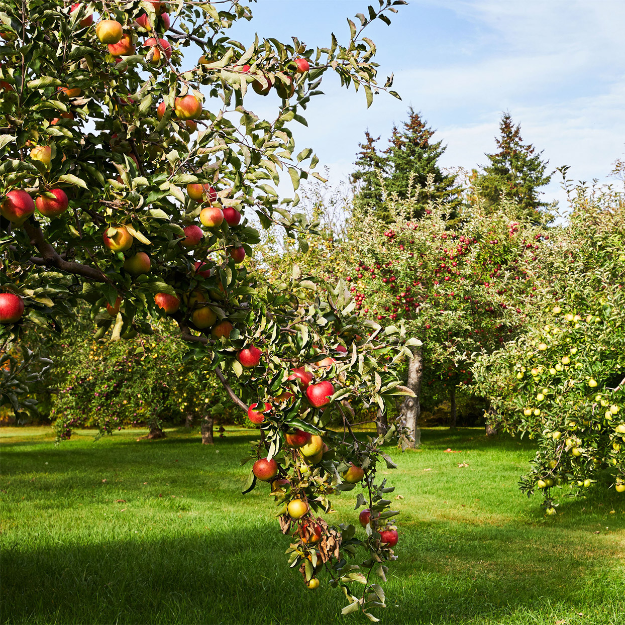 apple orchard branch focal point