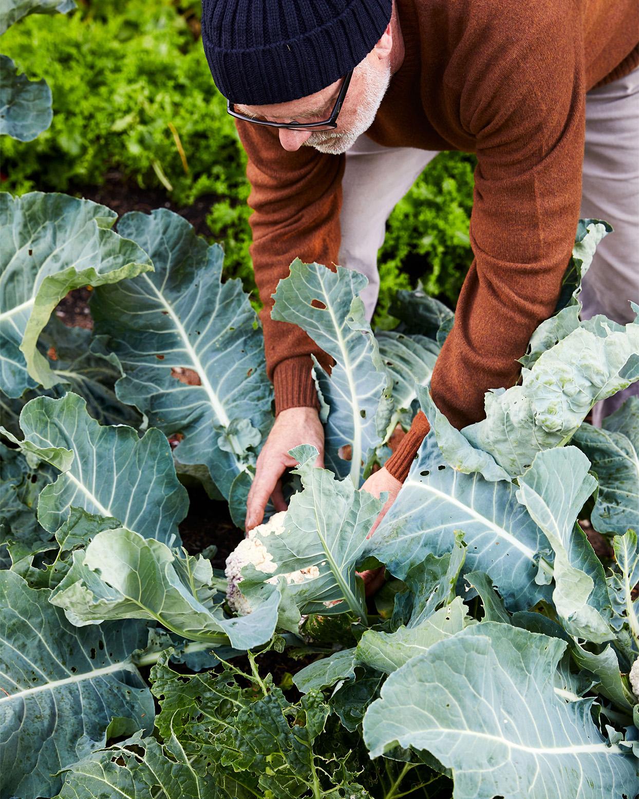picking cauliflower in the garden