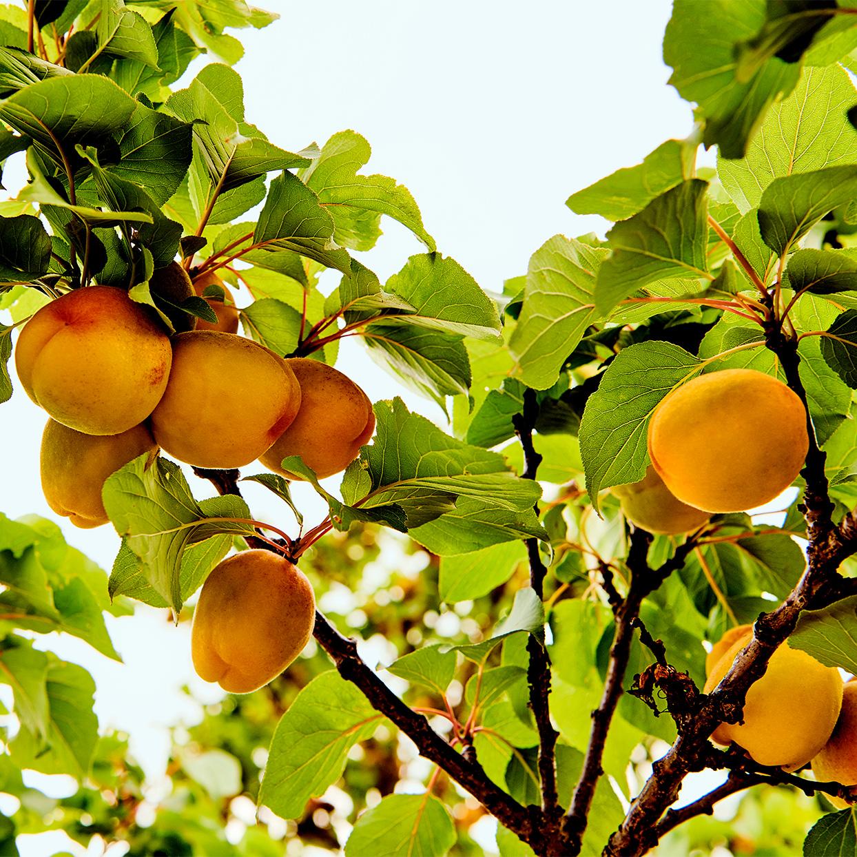 Italian Tuscan home peaches close-up