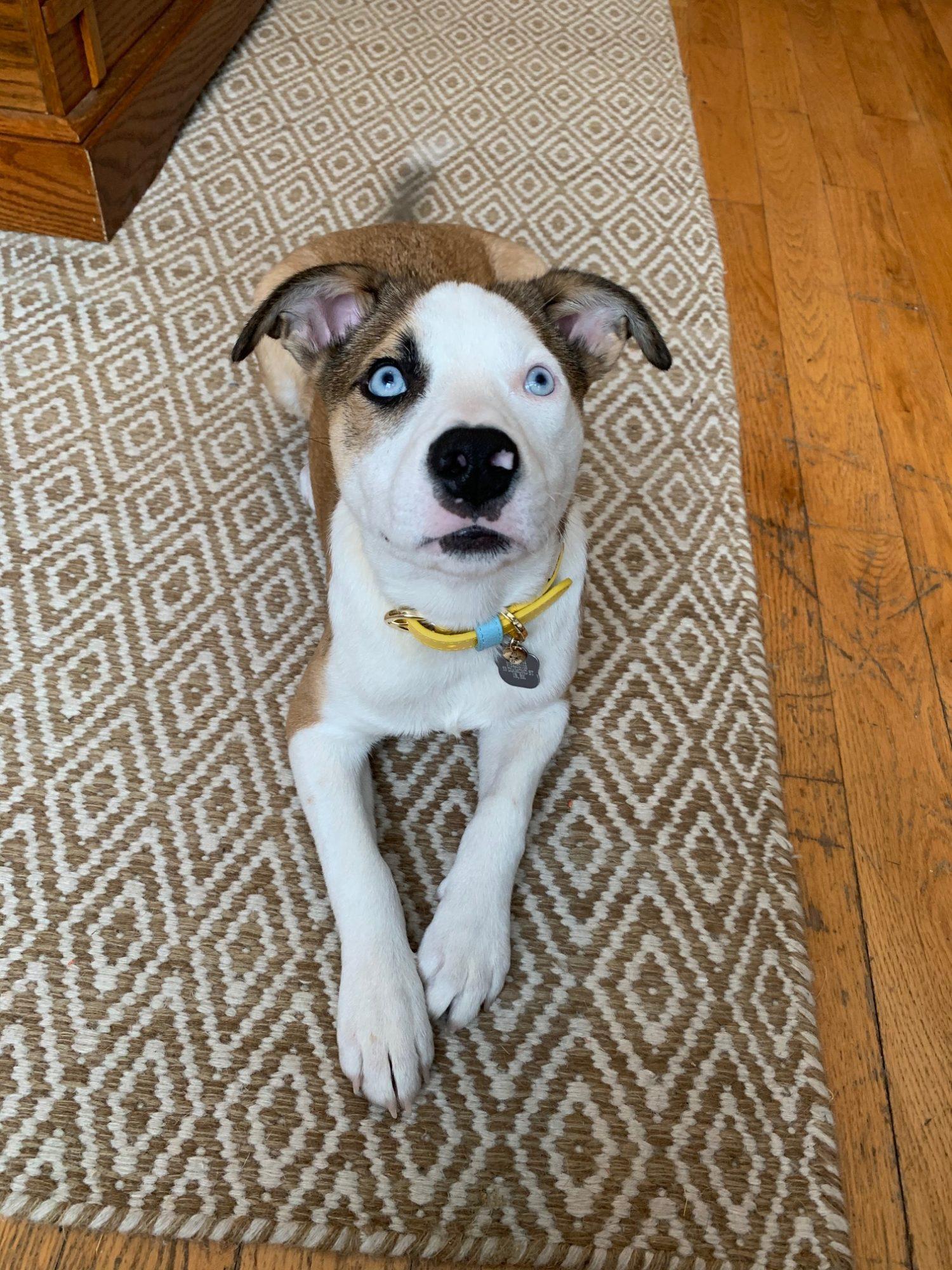 Pet Review maxbone collar