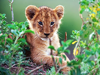 African Cats | WAYS OF THE WILD Lion cub in African Cats