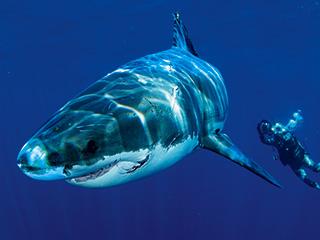 IT COMES BUT ONCE A YEAR Discovery's always anticipated Shark Week returns July 31 at 9 p.m.