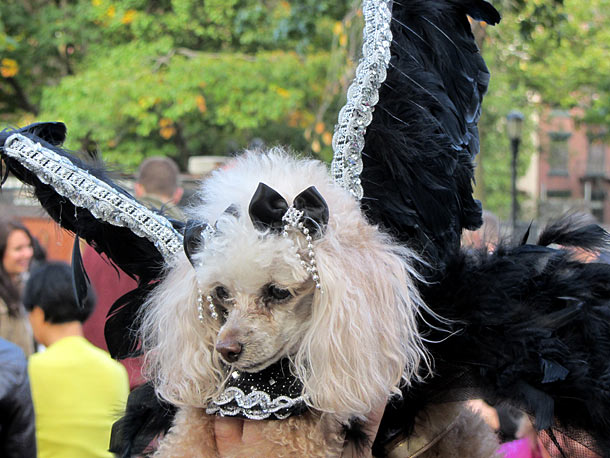 The toy poodle won the Dog Parade's first prize for her turn as a haunted ballerina, but suffered some embarrassment later when her canine ''dance…